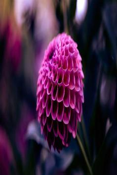 Dahlia Flower HD Wallpaper screenshot 5