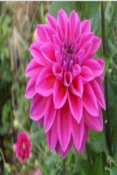 Dahlia Flower HD Wallpaper screenshot 2