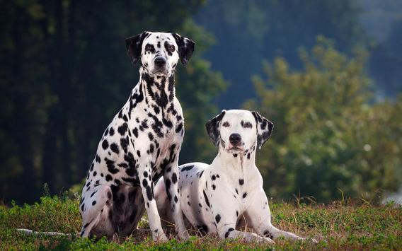 Dalmatian Live Wallpaper apk screenshot
