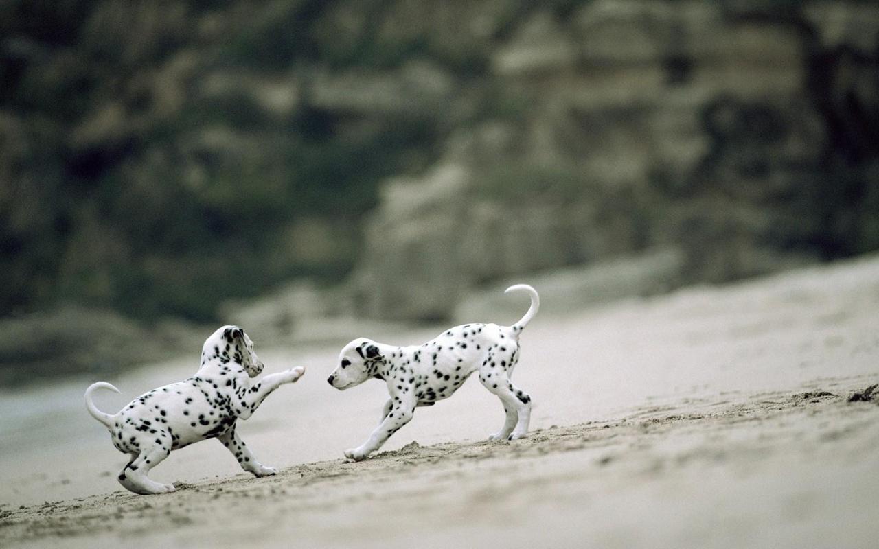 Dalmatian Live Wallpaper Apk Screenshot