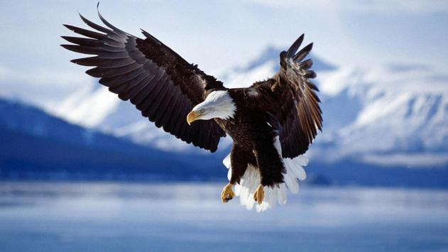Eagle Live Wallpaper apk screenshot