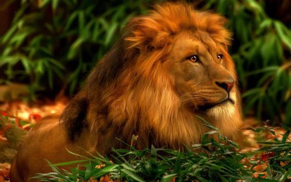 Lion Animal Live Wallpaper apk screenshot
