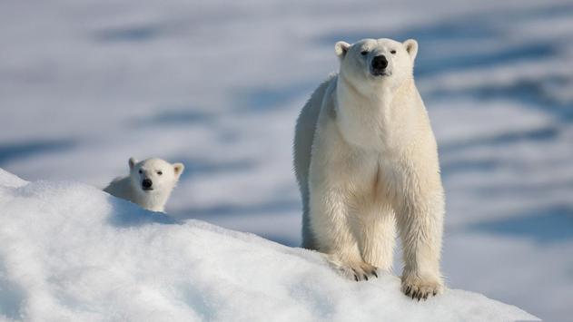 Polar Bear Live Wallpaper apk screenshot