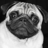 Pug Live Wallpaper icon