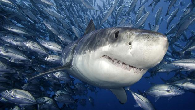 Shark Live Wallpaper apk screenshot