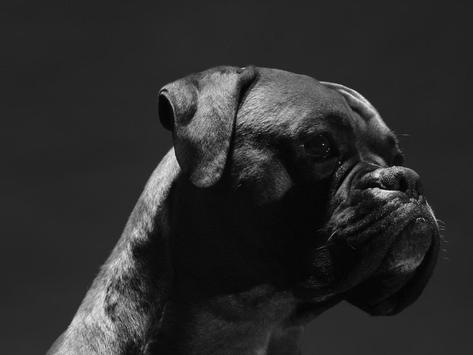 Boxer Dog Live Wallpaper poster