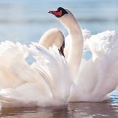 Swan Live Wallpaper icon