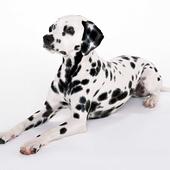 Dalmatian Dog Live Wallpaper icon