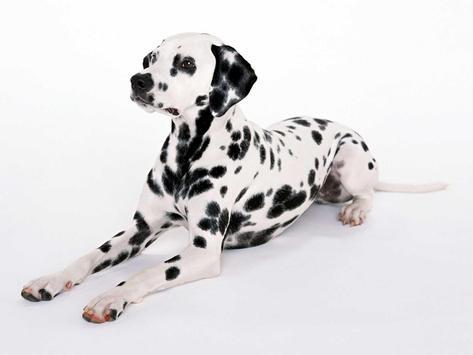Dalmatian Dog Live Wallpaper apk screenshot