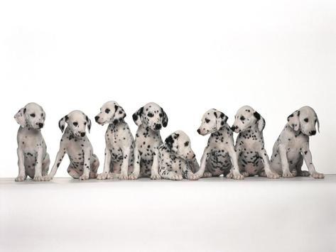 Dalmatian Dog Live Wallpaper poster