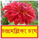 চন্দ্রমল্লিকা ফুল চাষ পদ্ধতি ~ Chrysanthemum icon