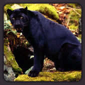Panther HD Wallpapers icon