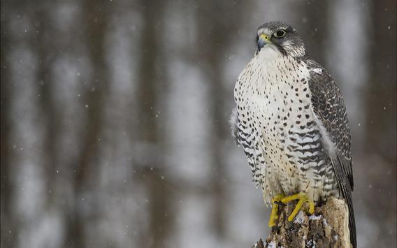 Falcon Live Wallpaper apk screenshot