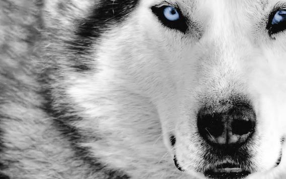 Siberian Husky Live Wallpaper apk screenshot