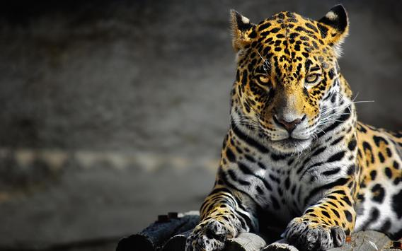 Jaguar Live Wallpaper apk screenshot