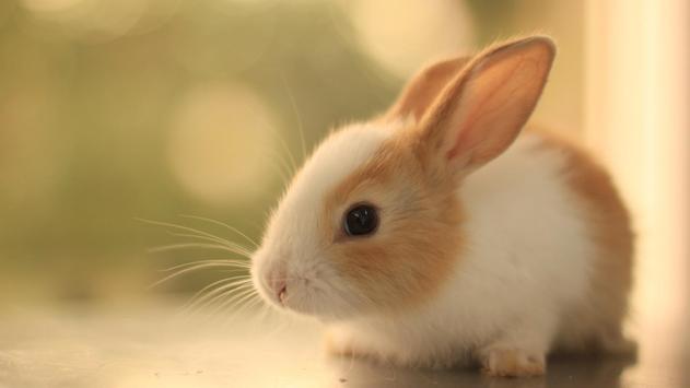 Rabbit Live Wallpaper poster