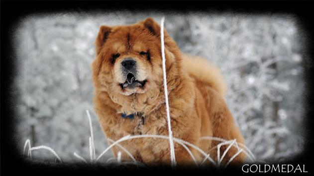 Chow Chow Wallpaper poster