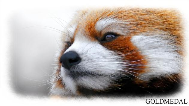 Red Panda Wallpaper apk screenshot