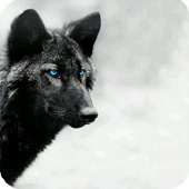 Black Wolf Wallpaper icon