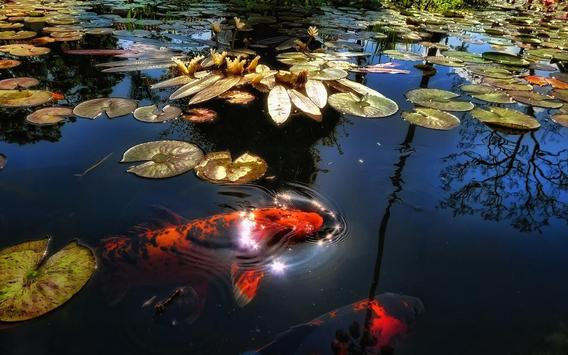 Koi Fish Live Wallpaper apk screenshot