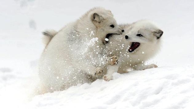 Polar Fox Live Wallpaper apk screenshot