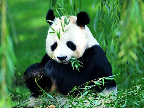 Panda Live Wallpaper Animal screenshot 2