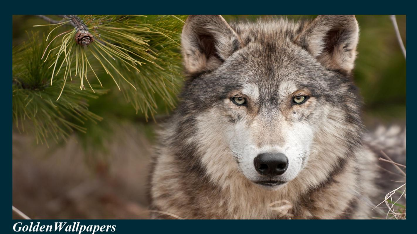 ... Wolf Wallpaper Animal screenshot 2 ...