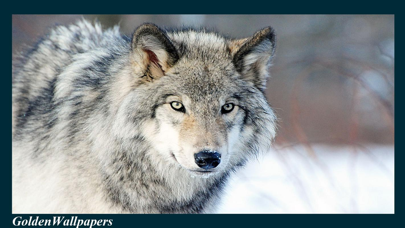 ... Wolf Wallpaper Animal screenshot 3