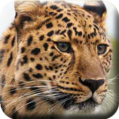 Leopars HD Wallpapers icon