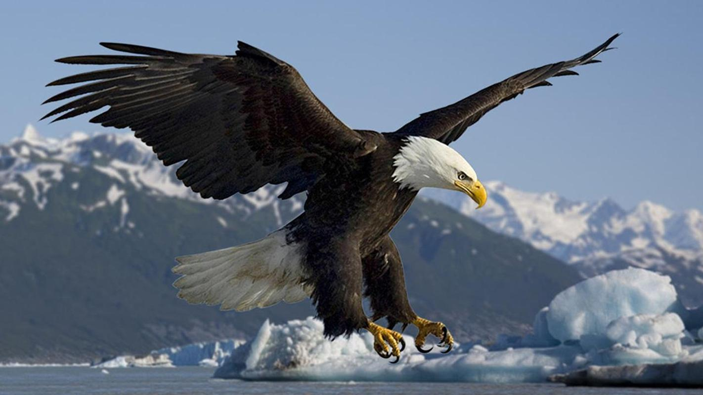 wild bald eagle wallpapers apk download - free personalization app