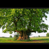 How ToPlant An Oak Tree icon
