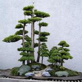 Ideas Bonsai Trees icon
