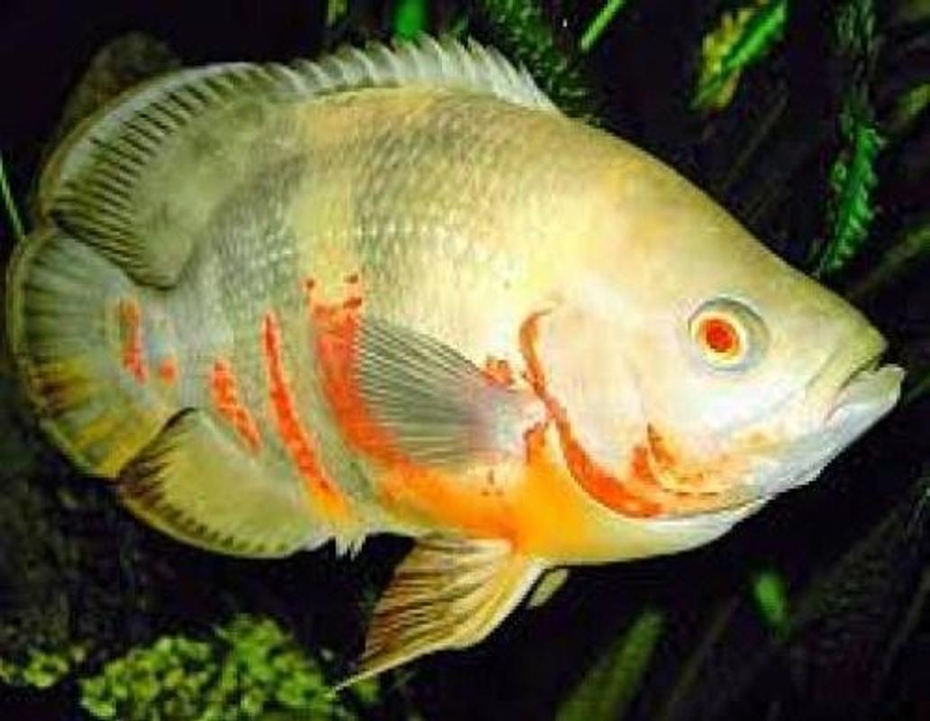 Ikan Hias Air Tawar Apkikan Apk 101