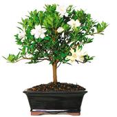 Indoor Bonsai Tree Design icon