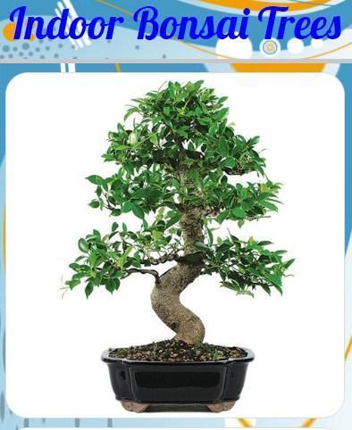 Indoor Bonsai Trees poster