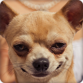 Cute Chihuahua Wallpapers HD icon