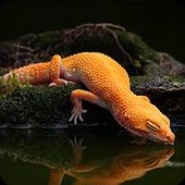Gecko Lizard Wallpapers HD icon