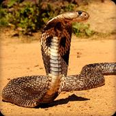 King Cobra Snake Wallpapers HD icon