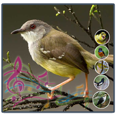 Full Kicau Burung Ciblek icon