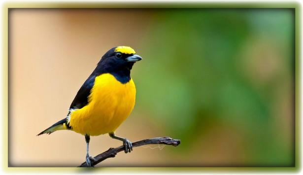 Kicau Burung (MP3) screenshot 5