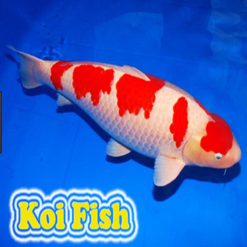 Carpa apk baixar gr tis arte e design aplicativo para for Como criar peces koi