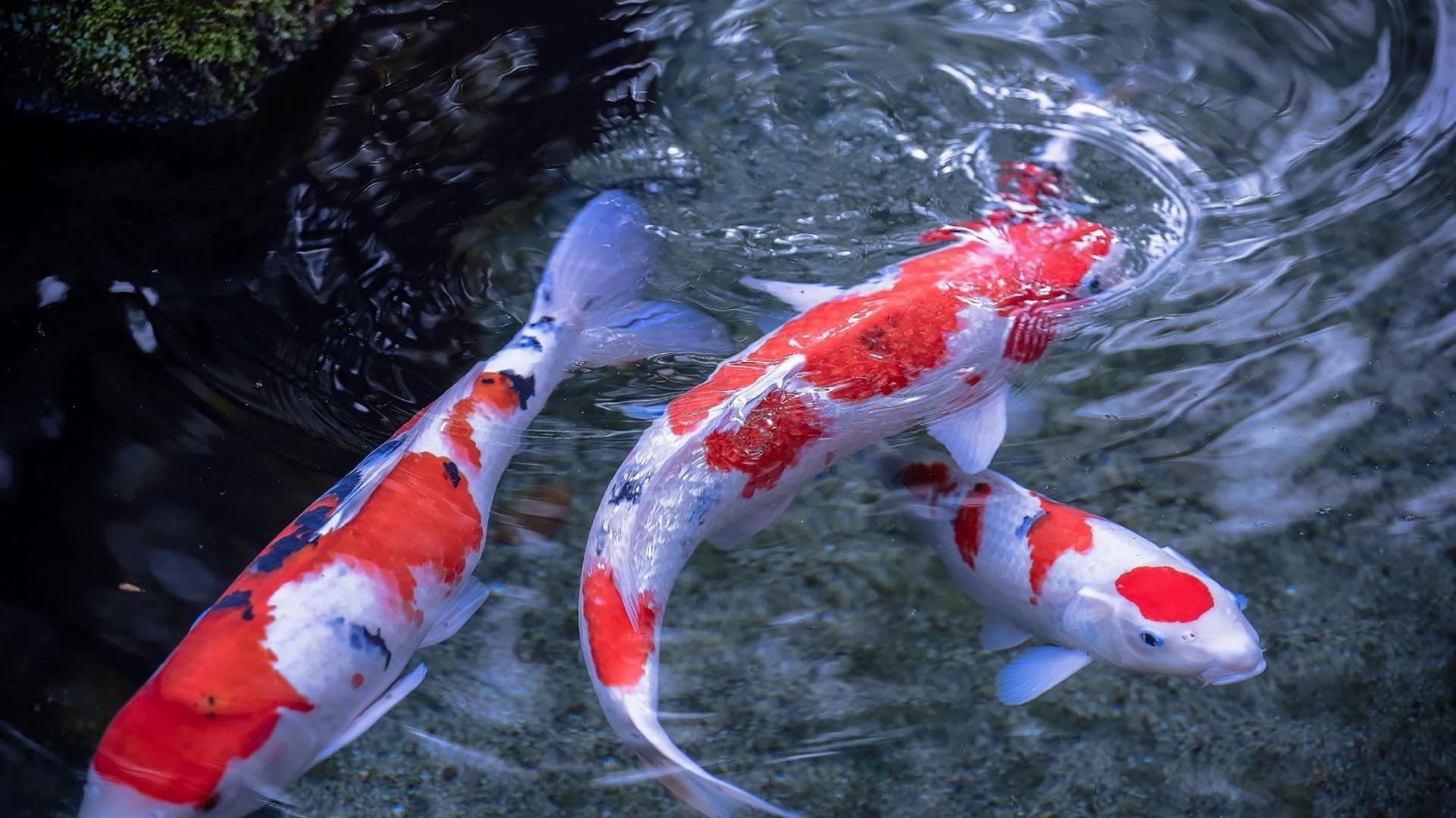 Кои рыбы картинки