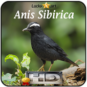 Anis Sibirica Top icon