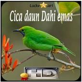 Cica daun Dahi emas Top icon