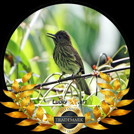 Kicau Burung Siri Siri For Android Apk Download
