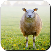 Sheep Wallpapers icon