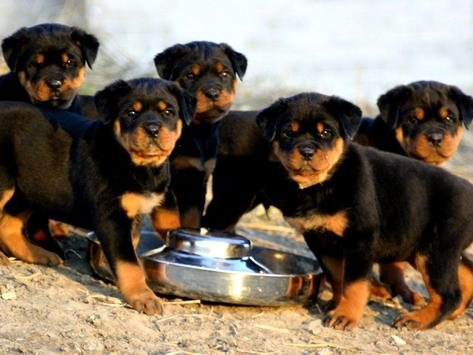 Rottweiler Pack 2 Wallpaper apk screenshot