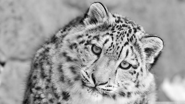 Snow Leopard Hd Live Wallpaper For Android Apk Download