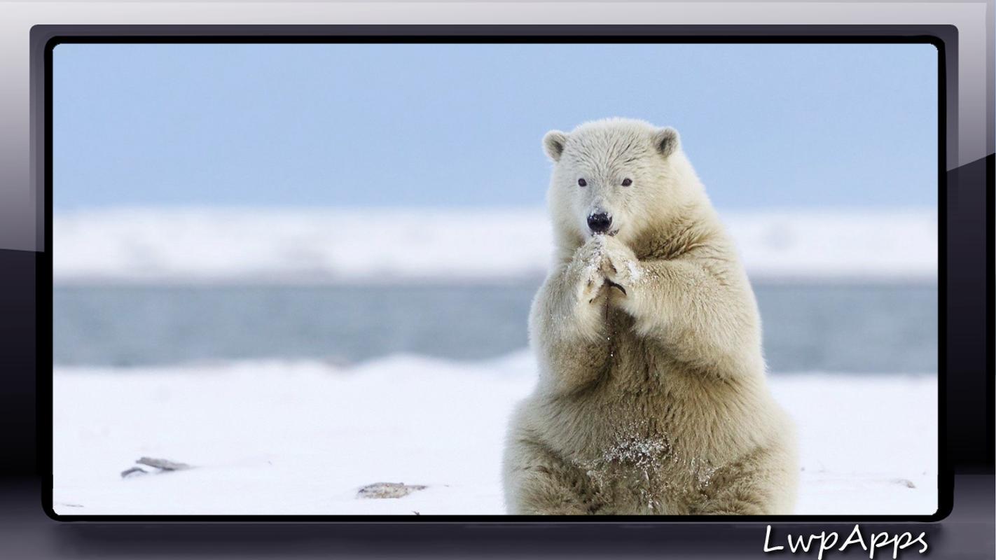 Polar Bear Wallpaper Fur Android Apk Herunterladen