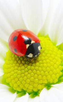Ladybug Live Wallpaper apk screenshot